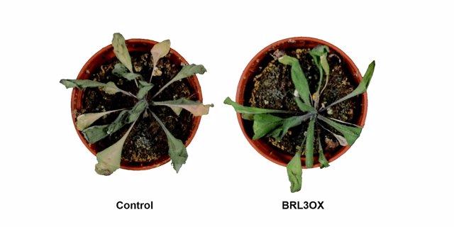 Plantes d'Arabidopsis thaliana sotmeses a condicions de sequera.