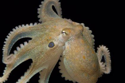 Investigadores del Instituto Español de Oceanografía logran reproducir pulpos en cautividad