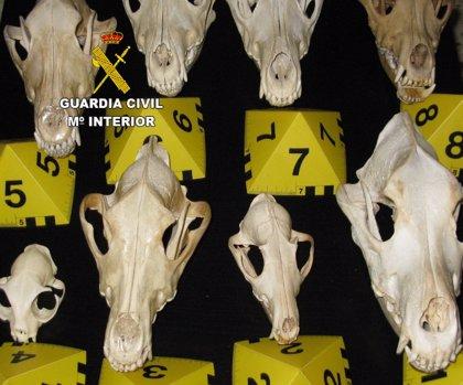 El Seprona se incauta de nueve cráneos y cuatro pieles de lobo ibérico en Zamora
