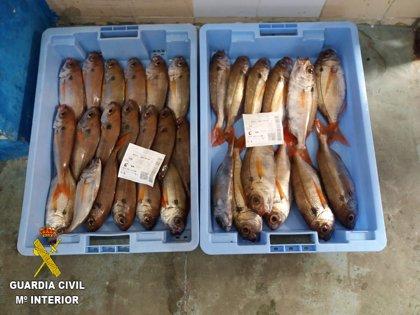 Incautados 13 kilos de besugo inmaduro en el puerto pesquero de Castellón