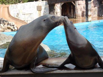 Cantur dona dos leones marinos de Cabárceno al minizoo de La Magdalena