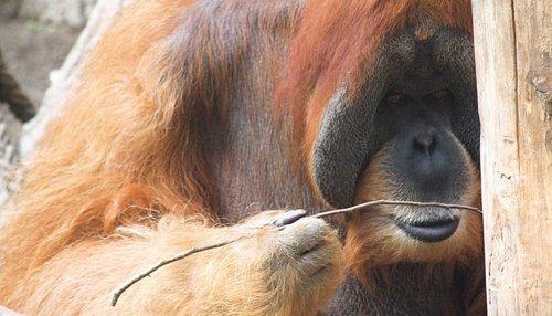 Orangután utilizando un palo como herramienta