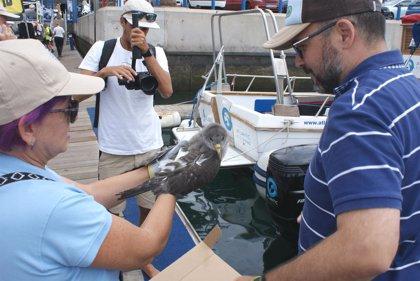 Atienden a más de 2.000 pardelas cenicienta en el Centro de Recuperación de Fauna Silvestre La Tahonilla de Tenerife