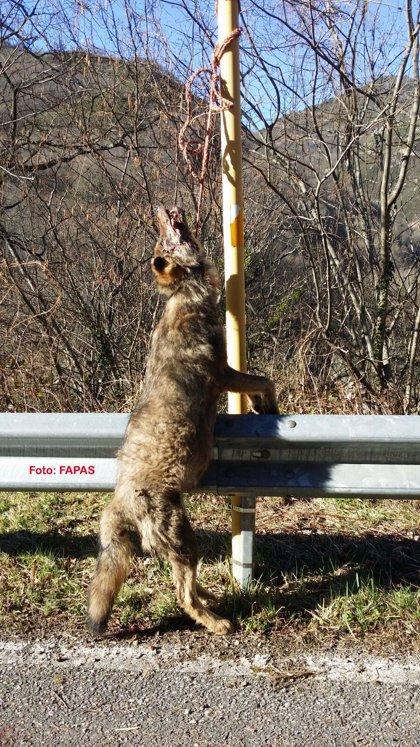 Rural.- Fapas acusa al Gobierno de pedir a los ganaderos que reúnan firmas para solicitar matar lobos