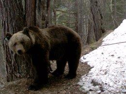 Imagen de archivo de uno de los osos del Pirineo de Lleida