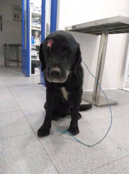 Buscan familia de acogida para un perro herido de un disparo en Oviedo