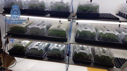 Detienen a los mayores proveedores de esquejes de marihuana de Mallorca