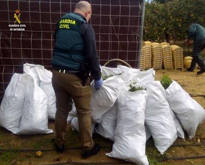 A prisión preventiva dos vecinos de Utrera (Sevilla) acusados de cultivar 380 plantas de marihuana