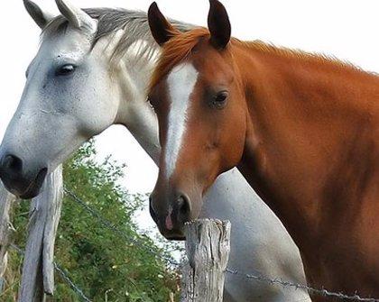 Extremadura tiene 40.569 caballos censados y ha exportado 744 ejemplares en los cuatro primeros meses del año