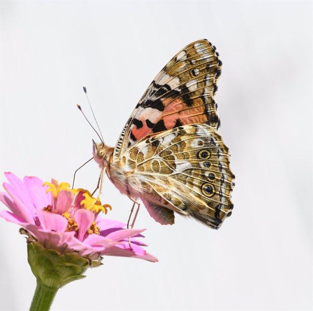 Una mariposa de los cardos (Vanessa cardui) libando una flor
