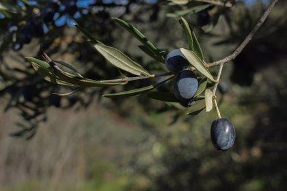 Las exportaciones de aceituna negra de España a EEUU caen un 72% entre agosto y septiembre, según datos de Asemesa