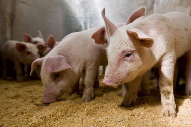 Ganado porcino en una granja de Cefusa