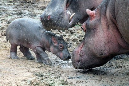 Terra Natura Murcia celebra el nacimiento de su segunda cría de hipopótamo