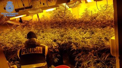 Intervenidas 728 plantas de marihuana en Albelda de Iregua (La Rioja)