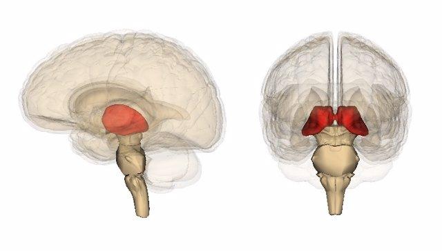 Tálamo, cerebro
