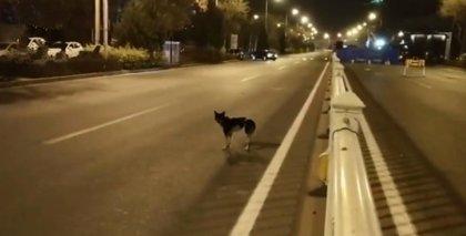 80 días lleva un perro esperando a que su dueña vuelva en la misma carretera en la que ella falleció en un accidente