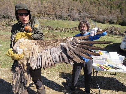 Capturados dos ejemplares de quebrantahuesos del Pirineo aragonés y liberados en el Maestrazgo castellonense