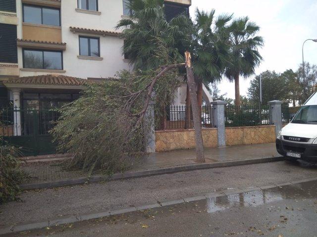 El temporal de viento provoca la caída de árboles en Palma