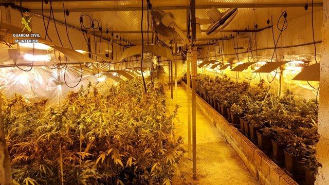 Plantas de marihuana intervenidas en Marchena