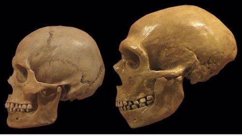 Comparación de cráneos de humano moderno y neandertal