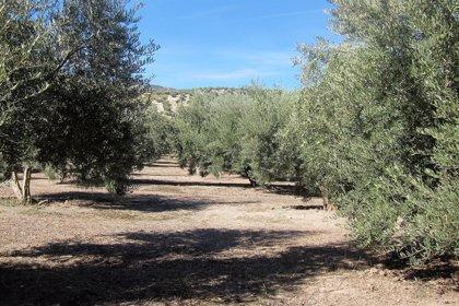 Junta garantiza que el laboratorio agroalimentario de Granada hará análisis de acidez y calidad del aceite esta campaña