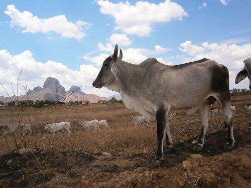 Ganado en terreno asolado por la sequía