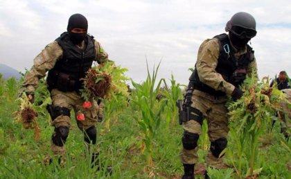 El cultivo de amapola en México aumentó un 21 por ciento entre 2015 y 2017