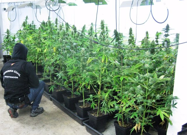 Plantación de marihauna intervenida en la operación Fungus