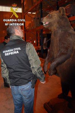 Oso disecado intervenido en Guadalajara