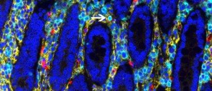 No solo la médula espinal: el intestino también genera sus propias células sanguíneas