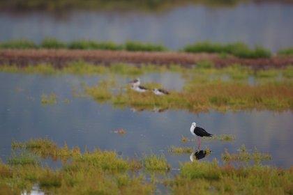 La Albufera de Mallorca, catalogada como 'Zona Importante para las Aves y la Biodiversidad en peligro'