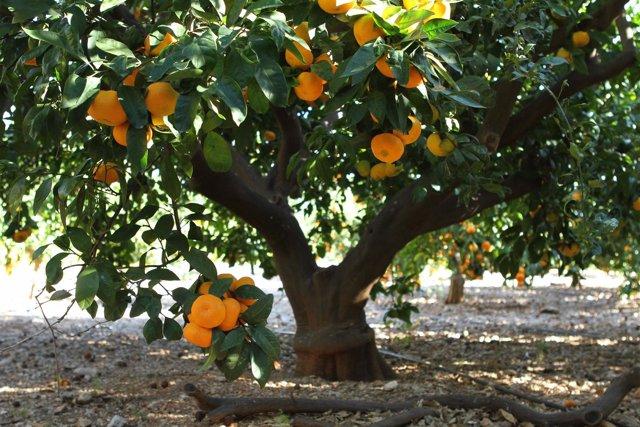 Una plantación de naranjos