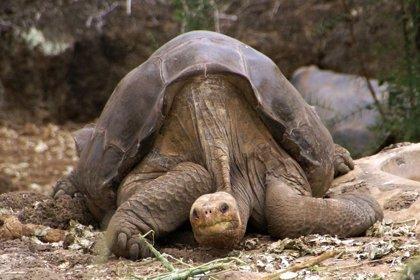 Una investigación de la Universidad de Oviedo da con las claves genéticas de la longevidad en tortugas gigantes