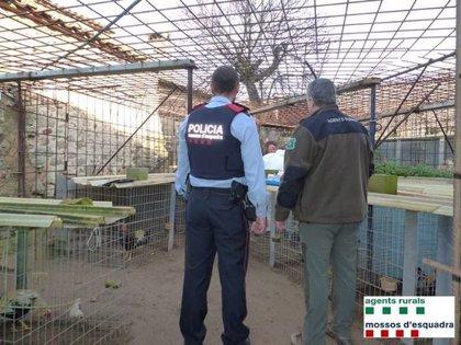 Desmantellen una finca on criaven galls per a baralles il·legals i cultivaven marihuana a Sant Joan de Mollet