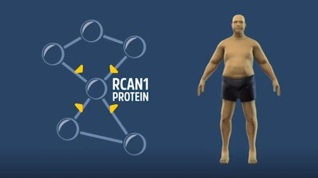 Gen RCAN1 para luchar contra la obesidad