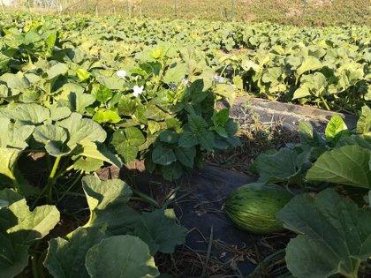 La UPCT logra incrementar entre un 30 y un 50% la producción de melón plantándolo junto a judías para conservar el suelo