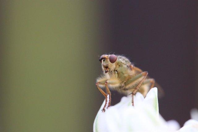 Mosca de la fruta (Drosophila)