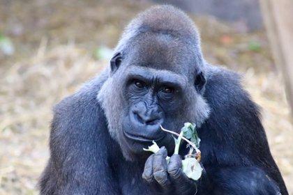 Bioparc Fuengirola recibe a Buu, la hembra de gorila de llanura procedente del zoo de Chessington
