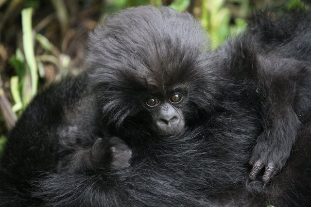 Cría de gorila de montaña