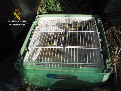 La Guardia Civil sorprende a una persona cazando jilgueros con redes y señuelos electrónicos