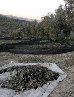Recolección de la aceituna en un olivar de la provincia de Jaén.