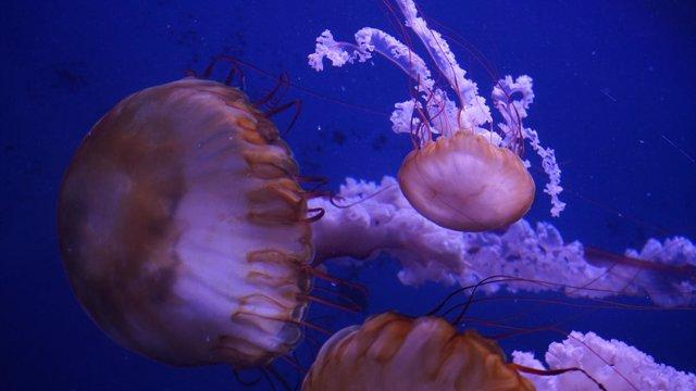 Ortigas Del Pacífico En El Oceanogràfic