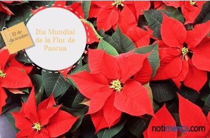 12 de diciembre: Día Mundial de la Flor de Pascua, ¿por qué se celebra hoy?
