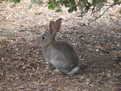 El conejo de monte deja de ser especie cinegética de interés preferente en C-LM