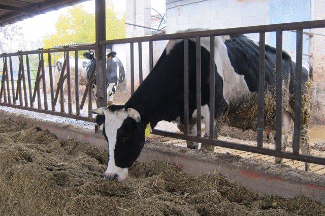 Vaca en una explotación agraria