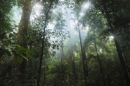 Un compuesto de la vid de la selva tropical servir para combatir el cáncer de páncreas