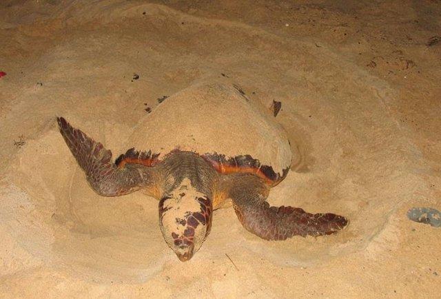 Tortuga boba (Careta careta) pone huevos en una playa de Cabo Verde