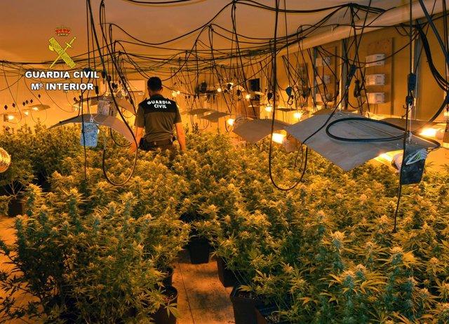 400 Plantas De Marihuana Decomisadas