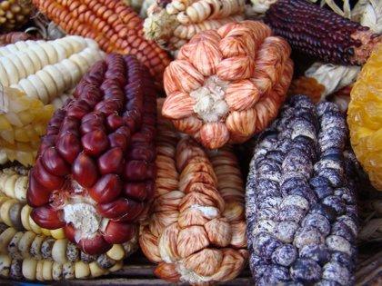 El maíz fue extendido desde México a América del Sur sin domesticar