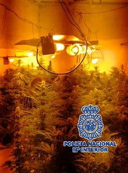 Plantacion, marihuana, málaga